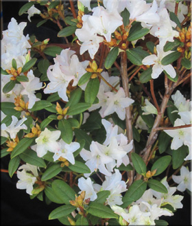 Rhododendron 'Donna Totten'   Rhododendrons (Hybrids & species)