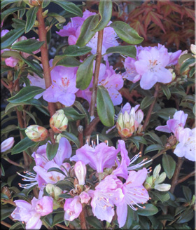 Rhododendron 'First Date'   Rhododendrons (Hybrids & species)