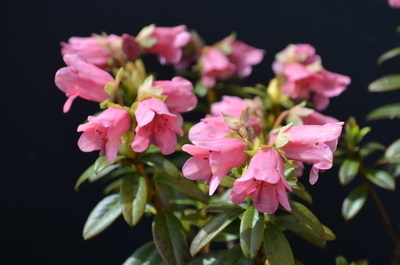Rhododendron glaucophyllum | Rhododendrons (Hybrids & species)