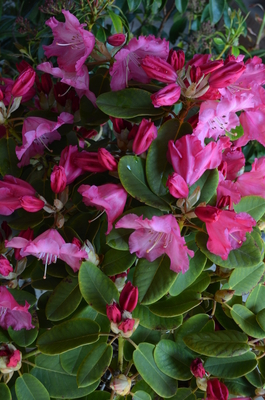 Rhododendron 'Karin' | Rhododendrons (Hybrids & species)