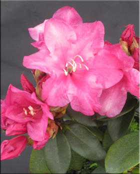 Rhododendron 'Point Fosdick'   Rhododendrons (Hybrids & species)