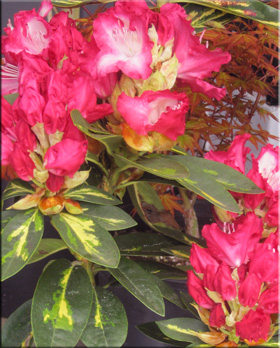 Rhododendron 'President Roosevelt'   Rhododendrons (Hybrids & species)
