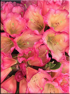 Rhododendron 'Unique Marmalade' | Rhododendrons (Hybrids & species)