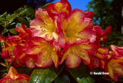 Rhododendron 'Ring of Fire'   Rhododendrons (Hybrids & species)