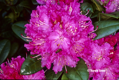 Rhododendron 'Rocket' | Rhododendrons (Hybrids & species)