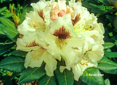 Rhododendron 'Sappho' x 'Tweedy Bird' | Rhododendrons (Hybrids & species)