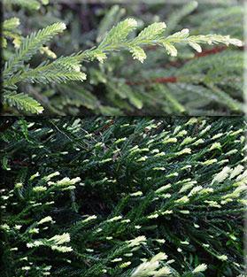 Sequoia sempervirens 'Albospica'   Conifers