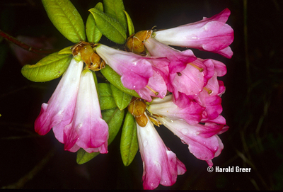 Rhododendron 'Seta'   Rhododendrons (Hybrids & species)