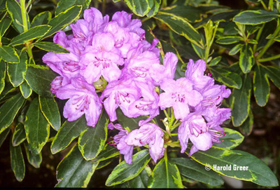 Rhododendron 'Silber Reif'   Rhododendrons (Hybrids & species)