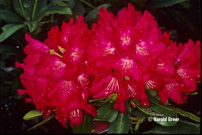 Rhododendron 'Skookum' | Rhododendrons (Hybrids & species)