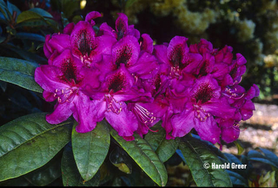 Rhododendron 'Smokey #9' | Rhododendrons (Hybrids & species)