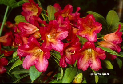 Rhododendron 'Sonata   Rhododendrons (Hybrids & species)