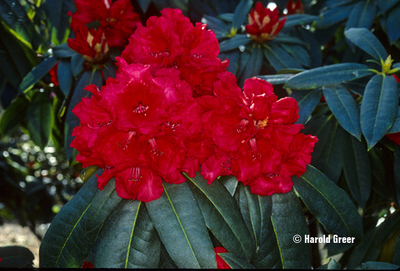 Rhododendron 'Taurus'   Rhododendrons (Hybrids & species)
