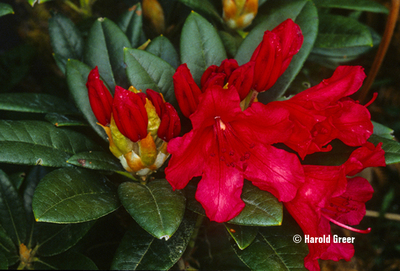 Rhododendron 'Titian Beauty'   Rhododendrons (Hybrids & species)