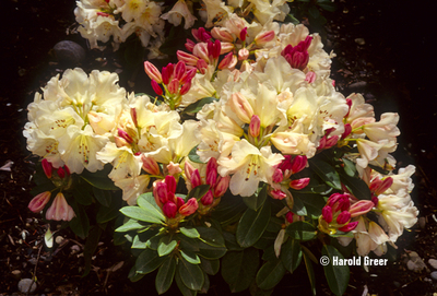 Rhododendron 'Unique' | Rhododendrons (Hybrids & species)