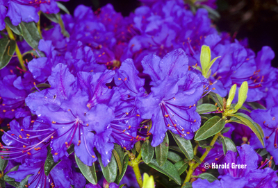 Rhododendron 'Vibrant Violet' | Rhododendrons (Hybrids & species)