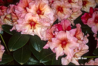 Rhododendron 'Virginia Richards' | Rhododendrons (Hybrids & species)