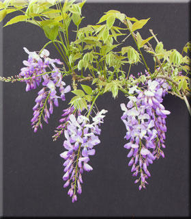 Wisteria sinensis 'Southern Belle' | Wisteria and Vines
