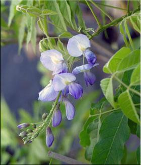 Wisteria floribunda 'Lawrence'  | Wisteria and Vines