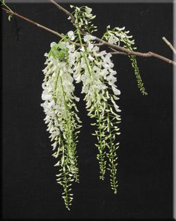 Wisteria sinensis 'Alba' | Wisteria and Vines