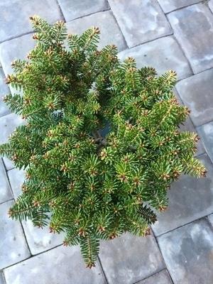 Abies alba 'Cado' | Conifers