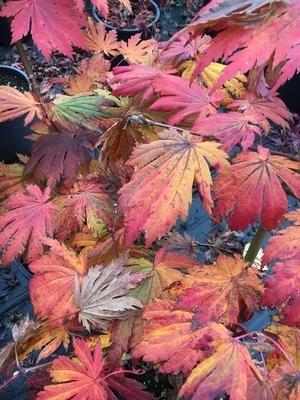 Acer japonicum 'Rising Sun' | Japanese Maples, Ornamental Trees