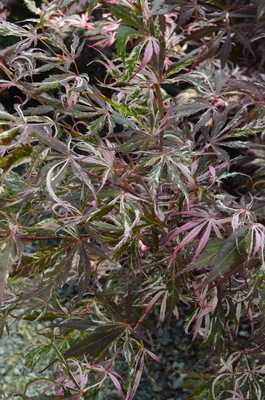Acer palmatum 'Lil Annie's Jewel' | Japanese Maples, Ornamental Trees