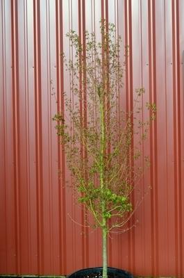 Acer palmatum 'Tsukasa Silhouette' | Japanese Maples, Ornamental Trees