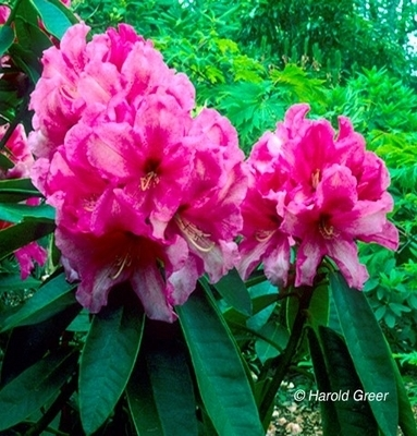 Rhododendron 'Anna' | Rhododendrons (Hybrids & species)