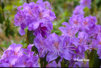 Rhododendron augustinii ssp. augustinii | Rhododendrons (Hybrids & species)