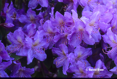 Rhododendron augustinii 'Royal Purple' | Rhododendrons (Hybrids & species)