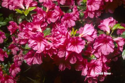Azalea 'Caroline Gable' | Evergreen Azaleas
