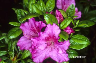 Azalea 'Concho'   Evergreen Azaleas