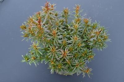 Azalea 'Kinsai'   Evergreen Azaleas