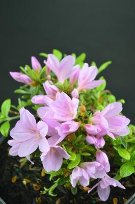 Azalea 'Lavender Elf' | Evergreen Azaleas