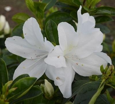 Azalea 'Nuccio's Mamma Mia' | Evergreen Azaleas