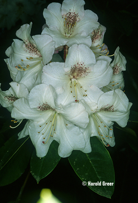 Rhododendron 'Beauty of Littleworth' | Rhododendrons (Hybrids & species)