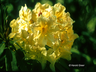 Rhododendron 'Bryce Canyon' | Rhododendrons (Hybrids & species)