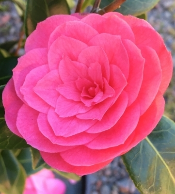 Camellia japonica 'April Kiss'   Deciduous & Evergreen Shrubs
