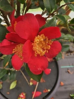 Camellia sasanqua 'Yuletide' | Deciduous & Evergreen Shrubs
