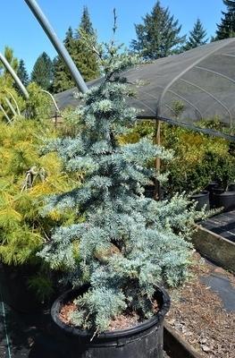 Cedrus atlantica 'Horstmann' | Conifers