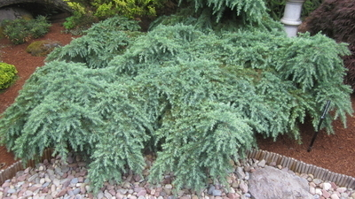 Cedrus deodara 'Prostrate Beauty' | Conifers