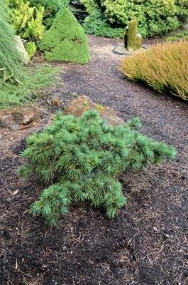 Cedrus libani 'Hedgehog' | Conifers