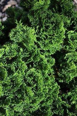 Chamaecyparis obtusa 'Nana' | Conifers