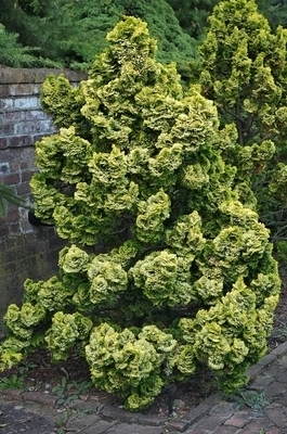 Chamaecyparis obtusa 'Nana Lutea' | Conifers