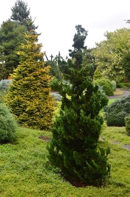 Chamaecyparis obtusa 'Thoweil' | Conifers