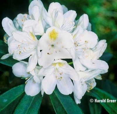 Rhododendron 'Chionoides' | Rhododendrons (Hybrids & species)