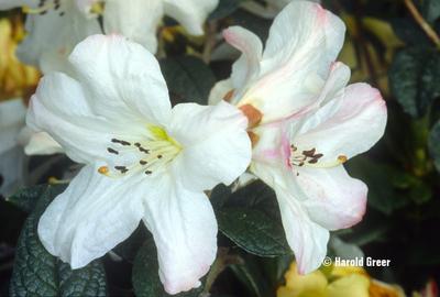 Rhododendron edgeworthii 'Darjeeling Jewel' | Rhododendrons (Hybrids & species)