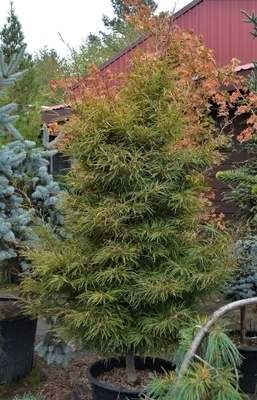 Fagus sylvatica 'Mercedes' | Japanese Maples, Ornamental Trees
