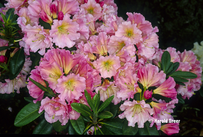 Rhododendron 'Gala' | Rhododendrons (Hybrids & species)